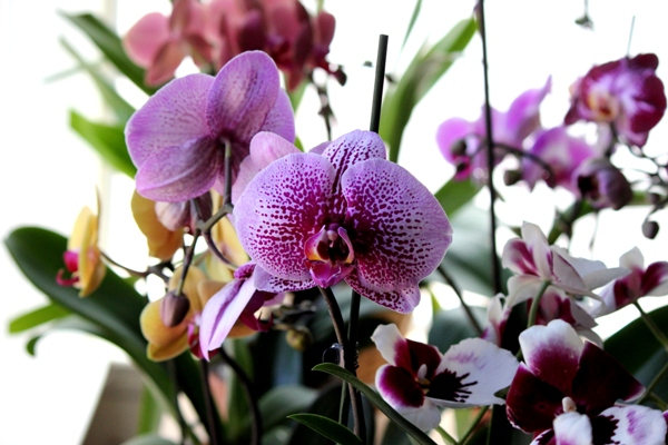 pansy orchid care instructions